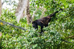 Howler monkey on a cable in Cahuita National Park, Costa Ri royalty free stock images