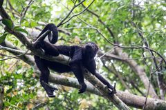 Howler monkey in canopy. One male howler monkey resting in rainforest canopy in Mexico, Central America Royalty Free Stock Images