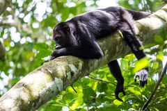 Howler monkey in canopy. One male howler monkey resting in rainforest canopy in Mexico, Central America Stock Photos