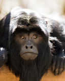Howler monkey. Close up portrait of  howler monkey Stock Image