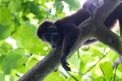 Howler monkey in Costa Rica Royalty Free Stock Images