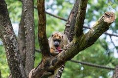 Howler monkey Royalty Free Stock Photo
