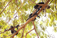 Howler Monkey Family Royalty Free Stock Image