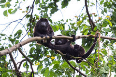 Howler monkey family Royalty Free Stock Photography