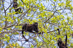 Howler Monkey Family. Swinging on a tree Royalty Free Stock Images