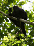 Howler Monkey II Stock Images