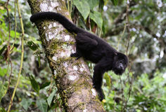 Howler monkey. Image of a wild Howler Monkey Saraguato monkey at Lacandona Rainforest, Chiapas Mexico royalty free stock photography