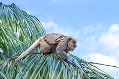 Howler Monkey In A Tree Ready To Leap To Another Tree Stock Photo