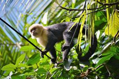 Howler Monkey in the Jungle. Howler monkey climbing among the trees in the jungle Royalty Free Stock Images