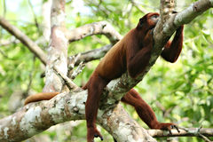Howler Monkey Stock Photo