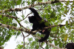 Howler monkey. Loud adult male howler monkey on top of a tree in Guatemala stock image