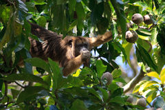 Howler monkey in pantanal, Brazil. Howler monkey looking at me while eating fruit in the pantanal wetlands, brazil Stock Photo