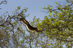 Howler monkey in pantanal, Brazil Stock Photos