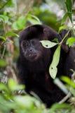 Howler monkey Royalty Free Stock Image