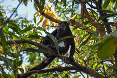 Howler Monkey in Samara, Costa Rica Royalty Free Stock Images