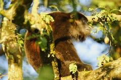 Howler Monkey silhouette Royalty Free Stock Photos
