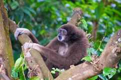 Howler Monkey sits in a tree in a park hanging on and letting out its loud call to his other monkeys. stock images