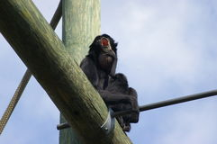 Howler monkey Stock Images