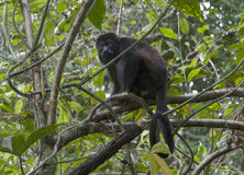 Howler monkey sitting on the tree at tropical forest. Howler monkey sitting on the treeCahuita national park, Costa Rica stock photos