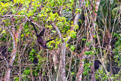 Howler Monkey. Swinging on a tree Stock Images