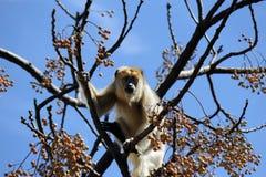 Howler Monkey Royalty Free Stock Photos