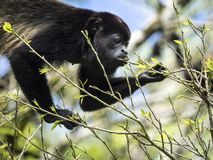 Howler Monkey in tree, eats leaves stock photo