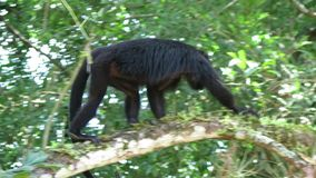 Howler Monkey on the tree stock video