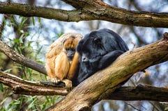 Howler monkey on a tree Stock Photos