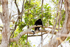 Howler Monkey in Tree. A howler monkey perched in a dry forest tree Royalty Free Stock Images