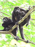 Howler monkey troop resting in tree with adorable baby, corcovad Stock Photo