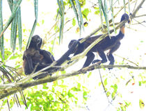 Howler monkey troop in tree with baby, corcovad0, costa rica Stock Photos