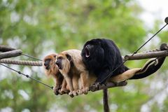 Howler monkeys. Vocalizing on a rope royalty free stock photo