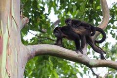 Howler Monkeys in Costa Rica Stock Photos