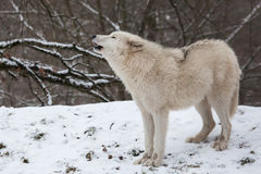 Howling arctic wolf Royalty Free Stock Photos