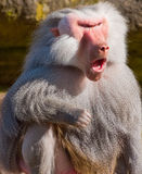 Howling baboon. A baboon howls in fury Royalty Free Stock Photos