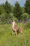 Howling Coyote Canis latrans in Field Stock Image