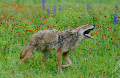 Howling Coyote in a field of wildflowers. Royalty Free Stock Photography