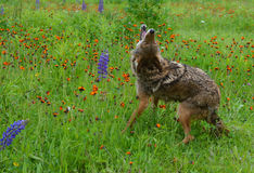Howling Coyote in a field of wildflowers. Royalty Free Stock Image