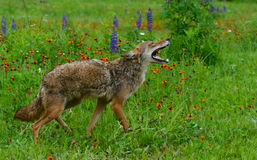 Howling Coyote in a field of wildflowers. Stock Photos