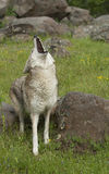 Howling Coyote on spring day Royalty Free Stock Image