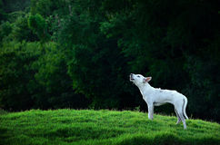 Howling Dog Stock Images