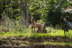 Howling Dog with Pup Royalty Free Stock Photography