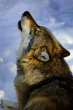 Howling European wolf royalty free stock images