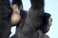 Howling. Female Siamang (left side) harmonizing with male Siamang in love duet Royalty Free Stock Photography