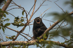 Howler Monkey Howling. A howler monkey defends his territory by howling to his neighbours, Costa Rica (January 2015 Royalty Free Stock Image