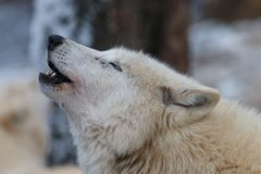 Howling Hudson Bay wolf Canis lupus hudsonicus royalty free stock photo
