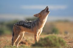 Howling Jackal Stock Photos