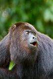 Howling monkey in Belize. A howler monkey in Belize, Central America stock photos