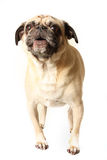 Howling Pug stock photography