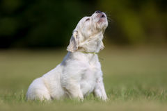 Howling puppy Stock Images